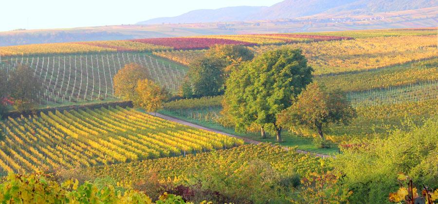 Weinreben Landschaft in der Pfalz