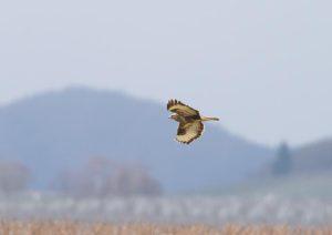 Falke im Weinberg