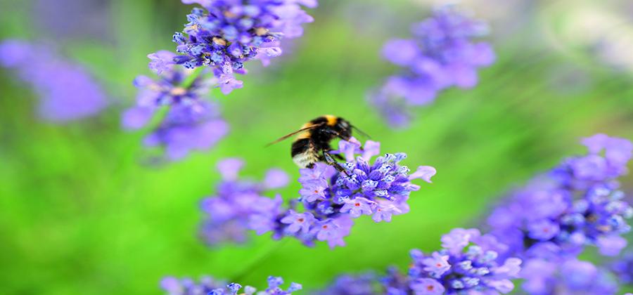 Biene auf Blüte von Wildlavendel