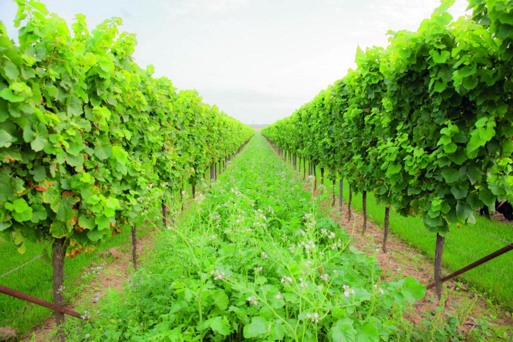 Bioweinberge mit Dauerbegrünung, Wildblumenwiese